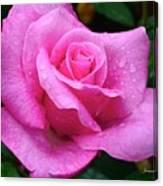 Fresh Sweet Surrender Rose Canvas Print