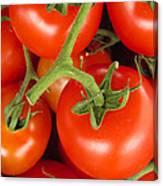 Fresh Whole Tomatos On Vine Canvas Print