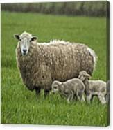Freshly Made - Winter Lambs Canvas Print