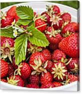 Freshly Picked Strawberries Canvas Print