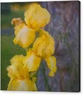 Friendly Yellow Irises Canvas Print