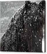 Friesian Snow Canvas Print