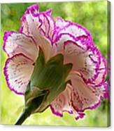 Frilly Carnation Canvas Print