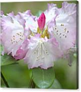 Frilly Pinks Canvas Print