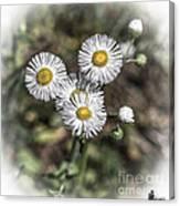 Fringed Daisy Canvas Print