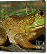 Frog At Night Canvas Print
