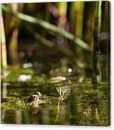 Frog Eyes Canvas Print