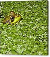 Frog In Duckweed Canvas Print