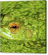 Frog In Single Celled Algae Canvas Print