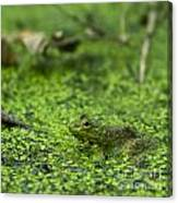 Frog In Swamp 2 Of 3 Canvas Print