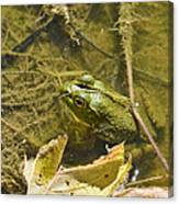 Frog Thinks He's Hidden Under A Twig Canvas Print