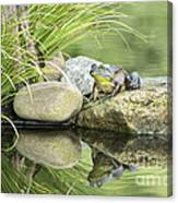 Bull Frog On A Rock Canvas Print