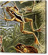Frogs Detail Canvas Print