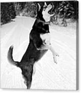 Frolicking In The Snow - Black And White Canvas Print