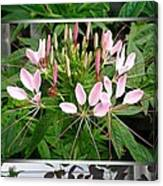 From Bud To Bloom - Cleome Named Pink Queen Canvas Print