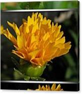 From Bud To Bloom - Coreopsis Named Early Sunrise Canvas Print