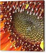 From Bud To Bloom - Sunflower Canvas Print