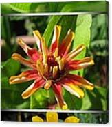 From Bud To Bloom - Zinnia Canvas Print