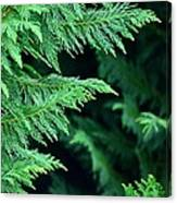Fronds Of The Leyland Cypress Canvas Print