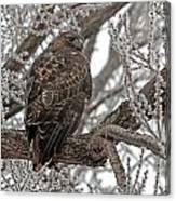 Frost Hawk Canvas Print