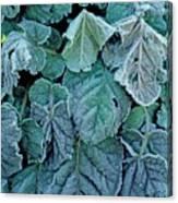 Frost On Francoa Sonchifolia Canvas Print