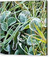 Frost On Strawberry Leaves Canvas Print