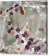 Frosted Berries Canvas Print