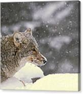 Frosty Coyote Canvas Print