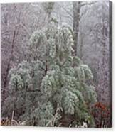 Frosty Pine Canvas Print
