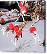 Frosty Rosehips Canvas Print
