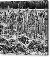 Frozen Reeds Canvas Print
