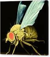 Fruit Fly Sem Canvas Print