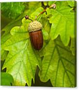 Fruit Of An Oak Tree Ripe In Autumn Canvas Print