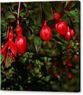 Fuchsia  Bells Canvas Print