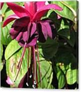 Fuchsia Named Roesse Blacky Canvas Print
