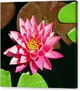 Fuchsia Pink Water Lilly Flower Floating In Pond Canvas Print