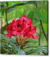 Fuchsia Rhododendron Moore State Park Canvas Print