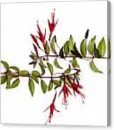 Fuchsia Stems On White Canvas Print