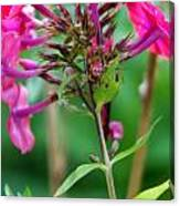 Fucia  Tubular Flowers Canvas Print
