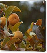 Fuju Persimmons In The Tree Canvas Print