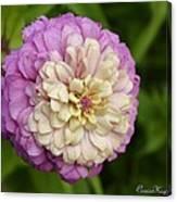 Zinnia In Full Bloom Canvas Print