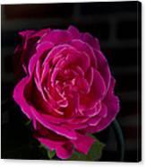 Full Bloom Morning Rose Canvas Print