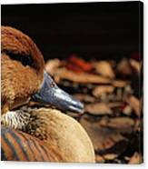 Fulvous Whistling Duck Canvas Print