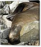 Fur Seal Canvas Print
