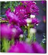 Fuschia Mums 1 Canvas Print
