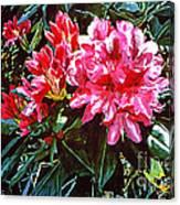 Fuschia Rhododendrons Canvas Print