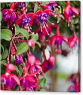 Fuchsia Spilling Over  Canvas Print