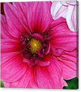 Fushia Pink Dahlia Canvas Print