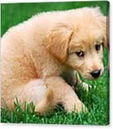 Fuzzy Golden Puppy Canvas Print