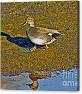 Gadwall Drake On Mudflat Canvas Print